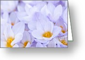 Yellow Crocus Greeting Cards - Crocus flowers Greeting Card by Elena Elisseeva