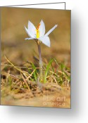 Yellow Crocus Greeting Cards - Crocus reticulatus Greeting Card by Gabriela Insuratelu