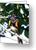 American Redstart Greeting Cards - Crooner Greeting Card by Sarah  Lalonde