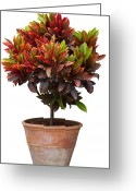 Pottery Photo Greeting Cards - Croton Tree In Flowerpot Greeting Card by Atiketta Sangasaeng