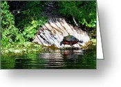 Wildlife Photos Greeting Cards - Crystal River Sunbather Greeting Card by Skip Willits