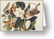 Natural Drawings Greeting Cards - Cuckoo on Magnolia Grandiflora Greeting Card by John James Audubon