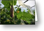 Shutter Bug Greeting Cards - Cucumber In Bloom No.1 Greeting Card by Kamil Swiatek