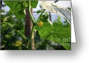 Shutter Bug Greeting Cards - Cucumber In Bloom No.2 Greeting Card by Kamil Swiatek