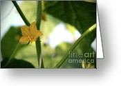 Shutter Bug Greeting Cards - Cucumber In Bloom No.3 Greeting Card by Kamil Swiatek