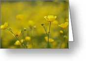 Buttercups Greeting Cards - Cups Of Sunshine Greeting Card by Odd Jeppesen