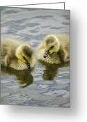 Canada Goose Greeting Cards - Curiosity Greeting Card by Heather Applegate