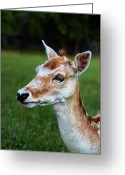 Does. Winter Greeting Cards - Curious Doe Greeting Card by Mariola Bitner