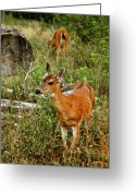 Grass Greeting Cards - Curious Fawn In Grassy Meadow Greeting Card by Christopher Kimmel
