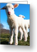 Grass Greeting Cards - Curious Lambs Greeting Card by Thomas R. Fletcher