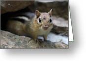 Chipmunk Greeting Cards - Curious little Chipmunk Greeting Card by Pierre Leclerc