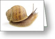 Curious Greeting Cards - Curious snail Greeting Card by Elena Elisseeva