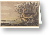 Feeding Drawings Greeting Cards - Curlew Greeting Card by John James Audubon