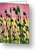 Sea Oats Greeting Cards - Currituck Oats Pink AP Greeting Card by Dan Carmichael