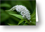 Gooseneck Loosestrife Greeting Cards - Curving Bloom Greeting Card by Jessica Lowell