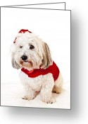 Claus Greeting Cards - Cute dog in Santa outfit Greeting Card by Elena Elisseeva