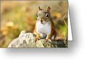 Face Greeting Cards - Cute red squirrel closeup Greeting Card by Elena Elisseeva