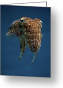 Animal Themes Greeting Cards - Cuttlefish Greeting Card by Stavros Markopoulos