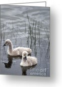 David Lade Greeting Cards - Cygnets Greeting Card by David Lade