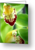 Kathy Yates Photography. Greeting Cards - Cymbidium Seafoam Emerald Orchid Greeting Card by Kathy Yates