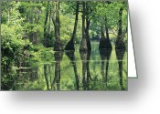 Cypress Knees Greeting Cards - Cypress Trees Cross A Waterway Greeting Card by Medford Taylor