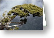 Old Tree Trunk Photo Greeting Cards - Cypresses (cupressus Sempervirens) Greeting Card by Bob Gibbons