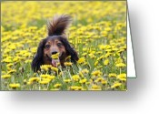 Sniff Greeting Cards - Dachshund on a meadow in bloom Greeting Card by Michal Boubin