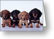 Sp Greeting Cards - Dachshund Puppies  Greeting Card by Carolyn McKeone and Photo Researchers