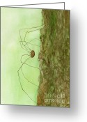 Harvestmen Greeting Cards - Daddy Long Legs Greeting Card by Jackie Irwin
