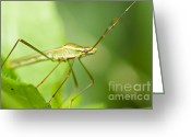 Harvestmen Greeting Cards - Daddy-long-legs  Greeting Card by Peerasith Chaisanit