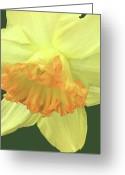 Warm Looking Flower Greeting Cards - Daffodil Down Greeting Card by Debra     Vatalaro