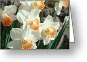 Popular Framed Prints Greeting Cards - Daffodil Flowers art prints Spring Floral Greeting Card by Baslee Troutman Fine Art Prints