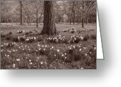 Arboretum Greeting Cards - Daffodil Glade Number 2 BW Greeting Card by Steve Gadomski
