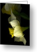 Tamara Stoneburner Greeting Cards - Daffodil in Profile Greeting Card by Tamara Stoneburner
