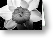 Photograph Greeting Cards - Daffodil in Springtime Greeting Card by Michelle Calkins
