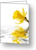 Copyspace Greeting Cards - Daffodil reflected Greeting Card by Jane Rix