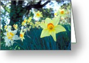 Tree Prints Greeting Cards - Daffodils and the Oak 2 Greeting Card by Kathy Yates
