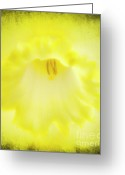 Stamen Greeting Cards - Daffodils Are Yellow Greeting Card by Meirion Matthias