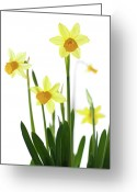 Sp Greeting Cards - Daffodils (narcissus Sp.) Against White Background Greeting Card by Ingmar Wesemann
