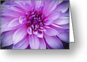 Flower Photograph Greeting Cards - Dahlia Dahling Greeting Card by Christi Kraft