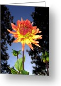 Flower Buds Greeting Cards - Dahlia Delight Greeting Card by Will Borden
