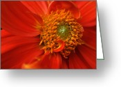 Orange Prints Greeting Cards - Dahlia Persuasion Greeting Card by Kathy Yates