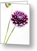 Dahlia Greeting Cards - Dahlia Greeting Card by Rebecca Cozart