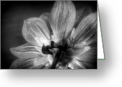 Monochromatic Greeting Cards - Dahlia Greeting Card by Scott Norris