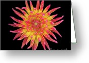 High Resolution Greeting Cards - Dahlia Two Greeting Card by Christopher Gruver