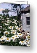 Shed Greeting Cards - Daises Delight II Greeting Card by Doug Kreuger