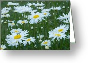 White Daisies Greeting Cards - Daisies 4054 Greeting Card by Michael Peychich