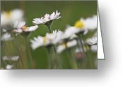 Bellis Greeting Cards - Daisies (bellis Perennis) Greeting Card by Bjorn Svensson