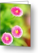 Bellis Greeting Cards - Daisies (bellis Perennis) Greeting Card by Maria Mosolova