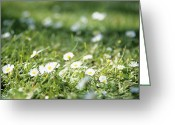 Bellis Greeting Cards - Daisies (bellis Perennis) Greeting Card by Veronique Leplat